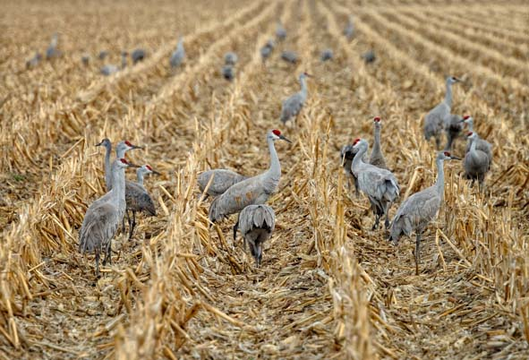 A Night With The Sandhill Cranes At The Crane Trust In >> Sandhill Crane Viewing Wood River Ne